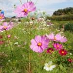 コスモス畑が見頃でインスタ映えの穴場!愛知県岡崎市の「奥殿陣屋」に行ってきました
